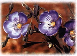 Blue Flax wild flower seed