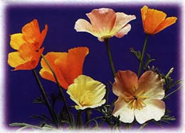 California Poppy Seed Collection
