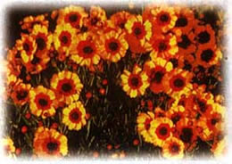 Coreopsis wild flower seed
