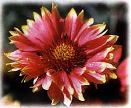Indian Blanket wild flower seed