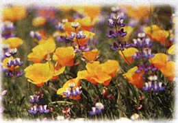 California Poppy Seed (orange) wild flower seed