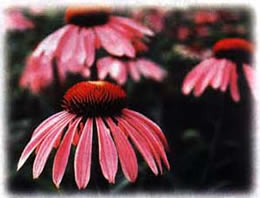 Purple Prarie Coneflower wild flower seed