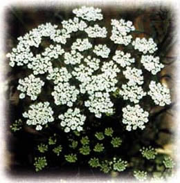 Queen Annes' Lace wild flower seed