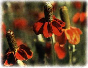 Red Mexican Hat wild flower seed