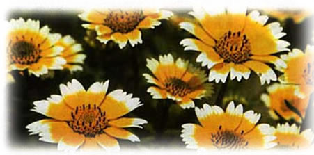 Tidy Tips Daisy wild flower seed