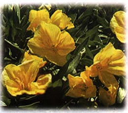 Yellow Primrose wild flower seed